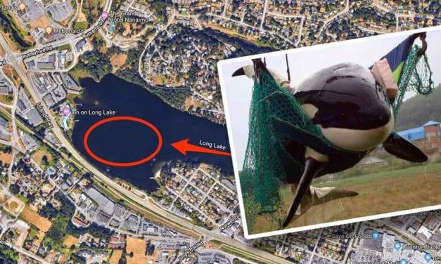 Nanaimo's Long Lake now home to fresh-water GMO Orca whale pod